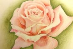 Rose-Polychromos